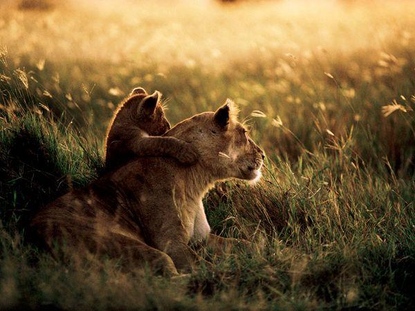 african-lions-tanzania_25990_600x450